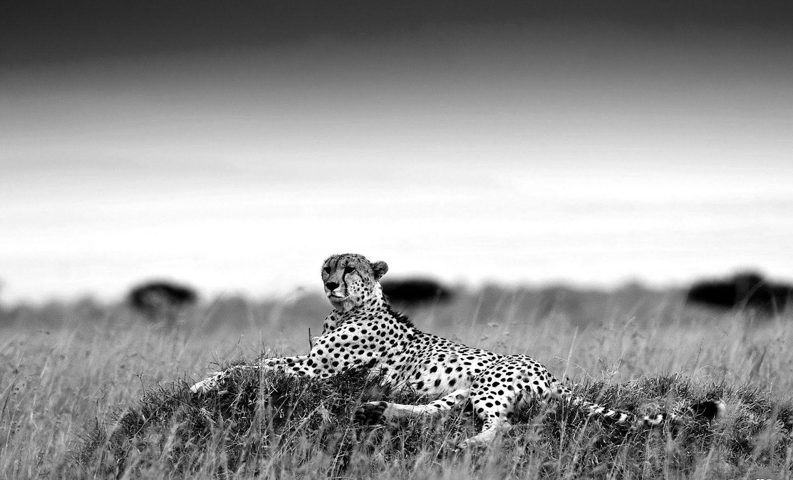 picture of a cheetah black cheetah wallpapers wallpaper cave picture a of cheetah