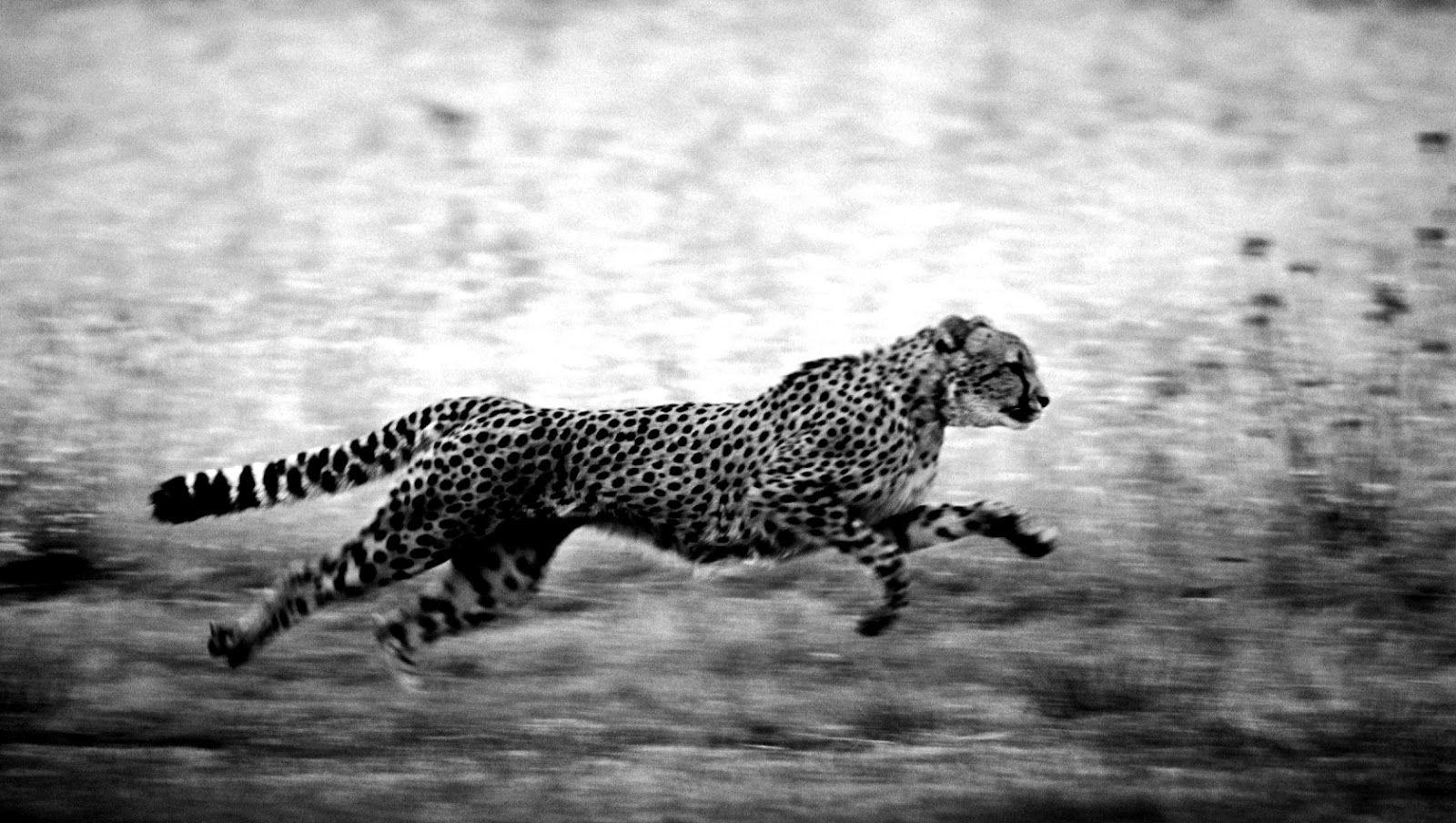 picture of a cheetah black cheetah wallpapers wallpaper cave picture cheetah of a