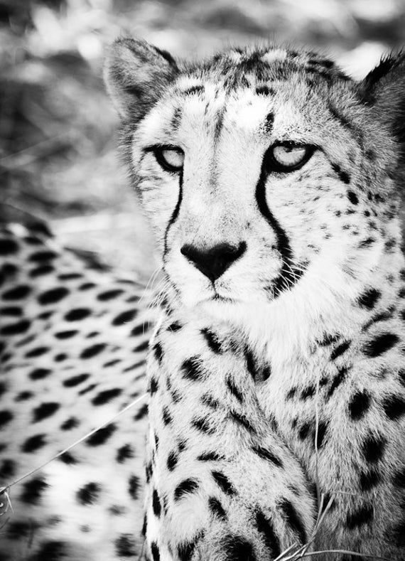 picture of a cheetah cheetah fine art photography wildlife wall art picture of cheetah a