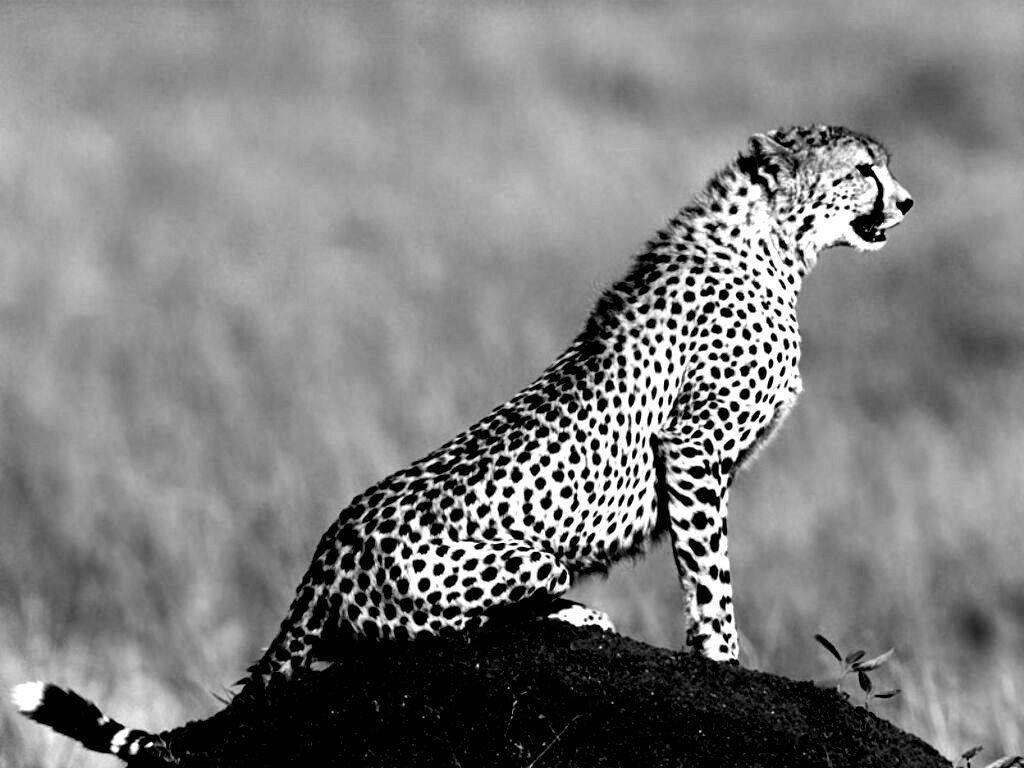 picture of a cheetah cheetah kwandwe game reserve pentaxforumscom picture a of cheetah
