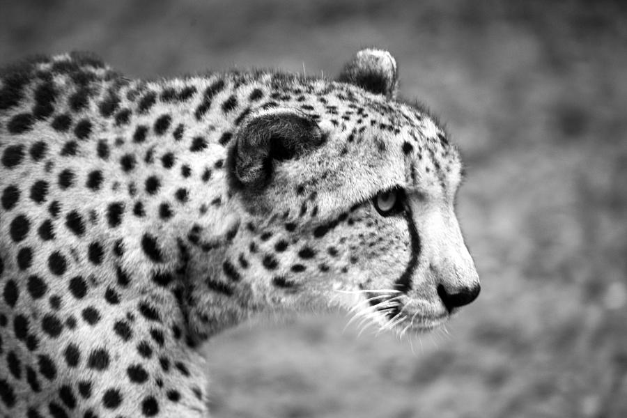 picture of a cheetah cheetah profile black and white photograph by sally cheetah picture of a