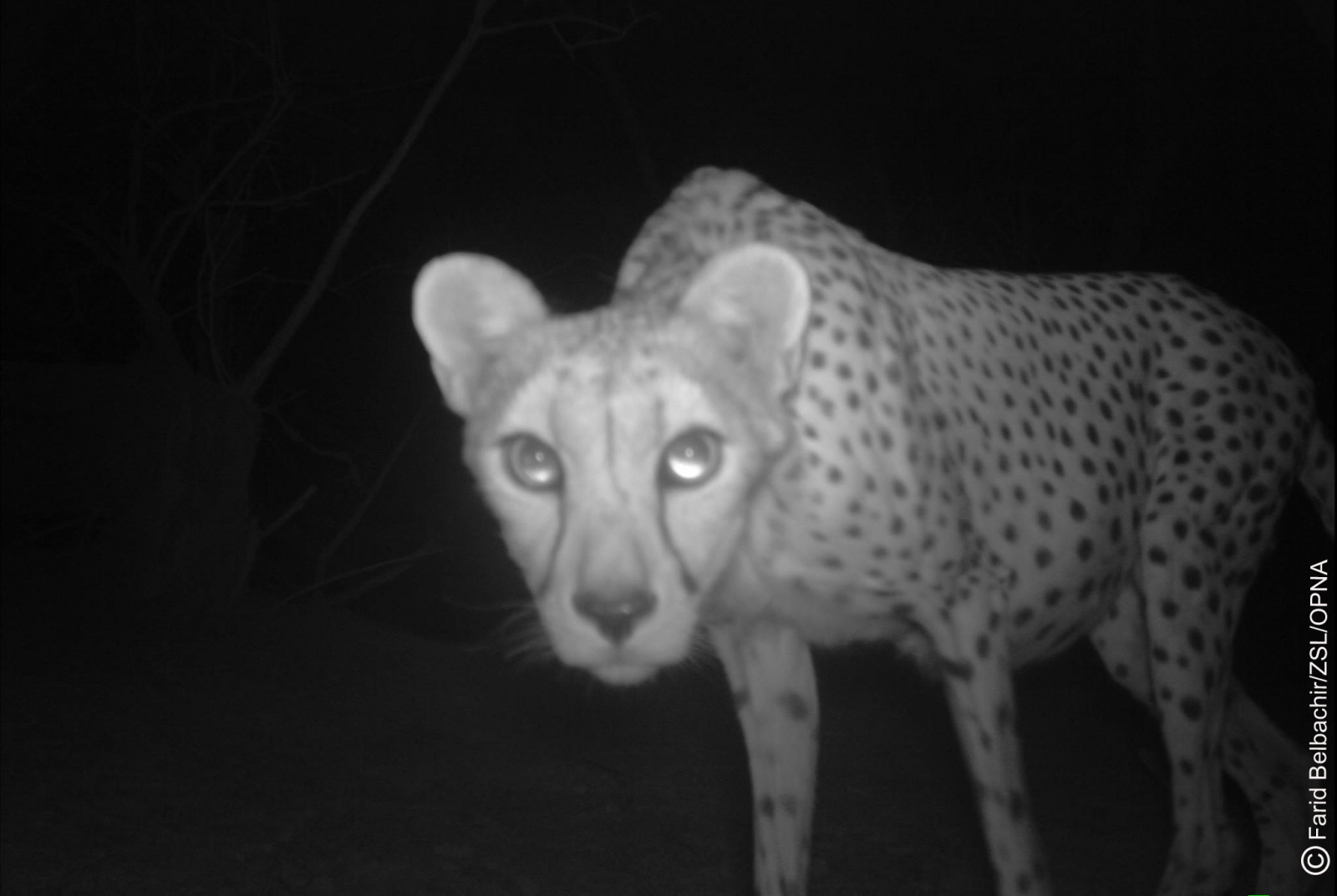 picture of a cheetah critically endangered saharan cheetah 39one of rarest of a picture cheetah