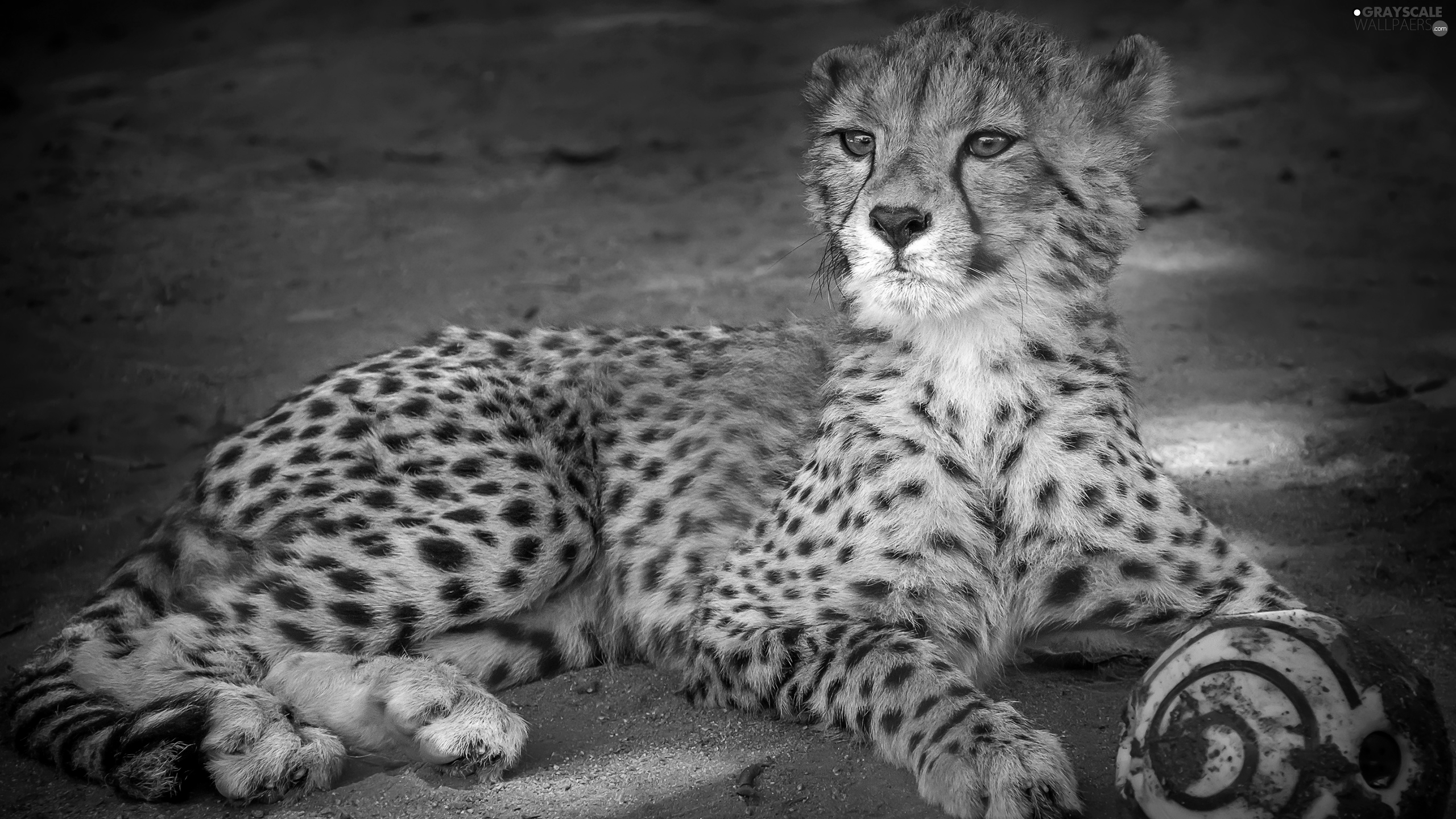 picture of a cheetah grayscale cheetah the ball 2560x1440 a of picture cheetah