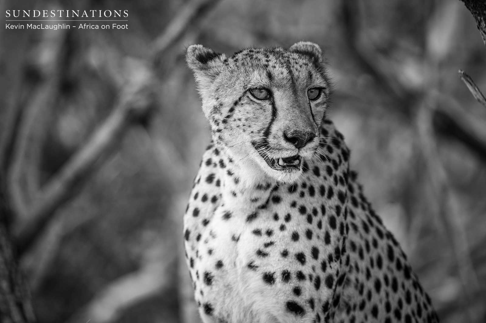 picture of a cheetah honour among thieves leopard steals cheetah39s kill a picture of cheetah