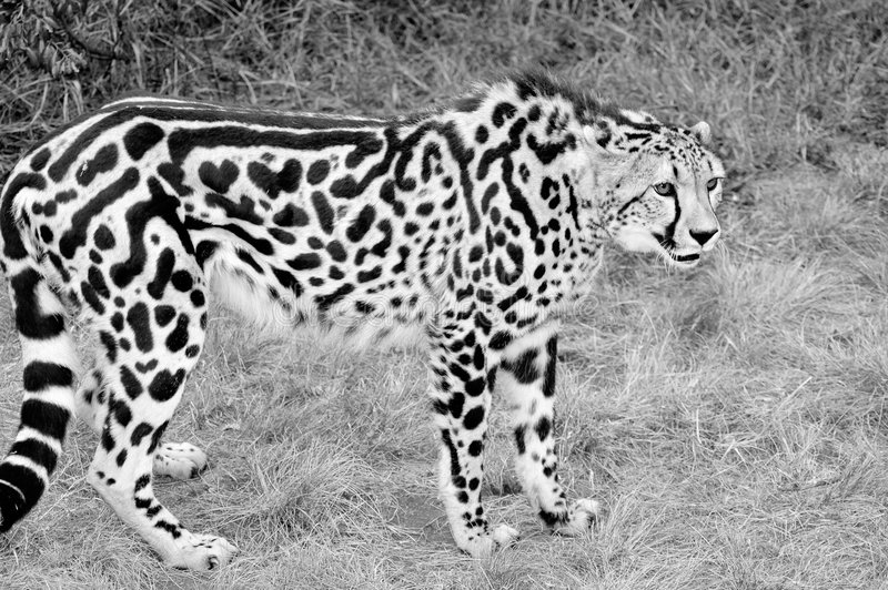 picture of a cheetah king cheetah stock photo image of animal predator cruel cheetah a picture of