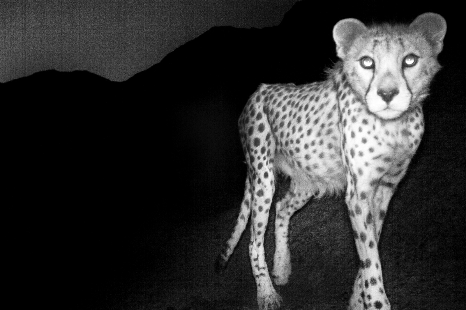 picture of a cheetah lantingasiaticcheetah020549 01a frans lanting a of picture cheetah