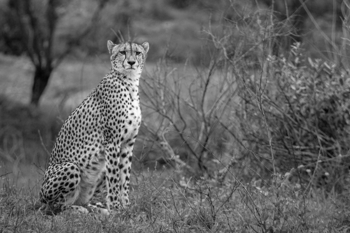 picture of a cheetah new photos offer rare glimpse of the mysterious saharan picture of a cheetah