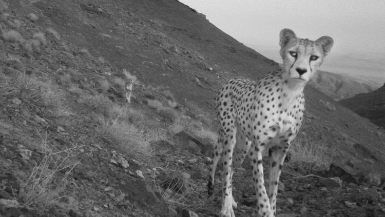 picture of a cheetah paranoid iranian government locked up cheetah of cheetah picture a