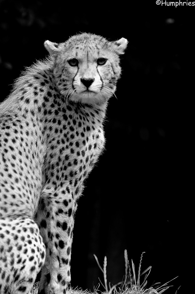 picture of a cheetah pwp cheetah the cheetah is built for speed it has long of cheetah picture a