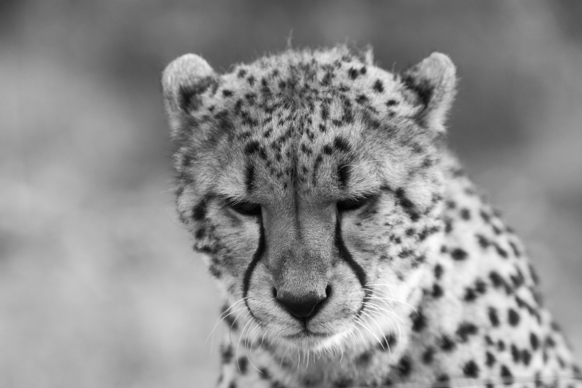 picture of a cheetah simba the lion king picture cheetah of a