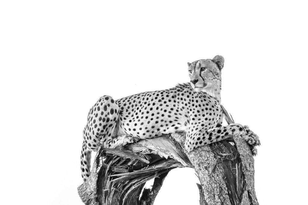 picture of a cheetah the difference between a leopard and a cheetah londolozi of picture cheetah a