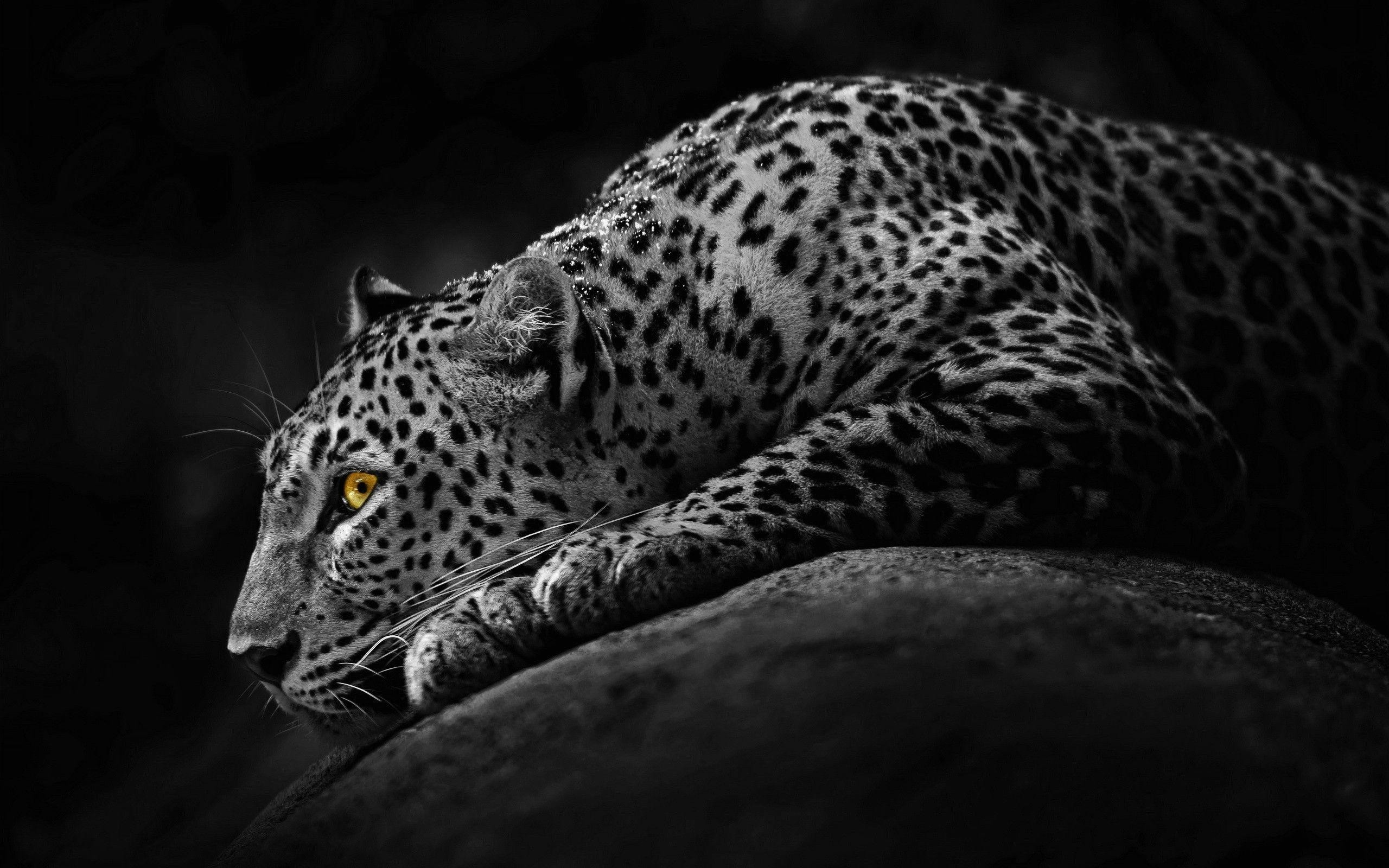 picture of a cheetah white cheetahs wild life adventures of picture a cheetah