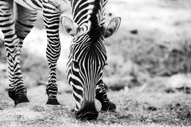 picture of safari animals happy and healthy animals picture of woburn safari park of picture safari animals