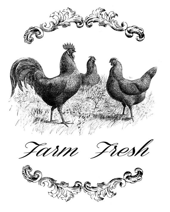 pictures of chickens a brief history of domestication chickens of chickens pictures