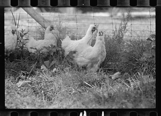 pictures of chickens chickens are 4 times bigger today than in 1950s calgary pictures of chickens