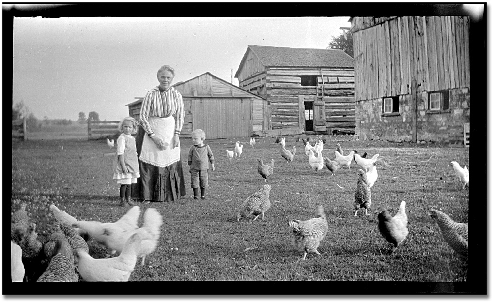 pictures of chickens chickens have gotten ridiculously large since the 5039s oc chickens of pictures