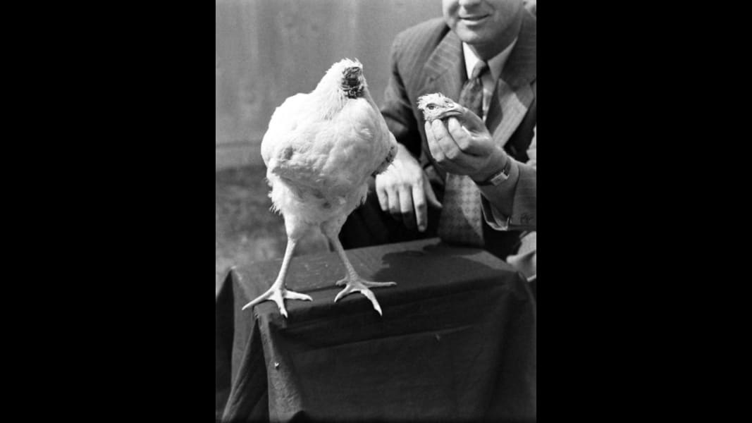 pictures of chickens miracle mike the story of the chicken that lived for 18 of chickens pictures