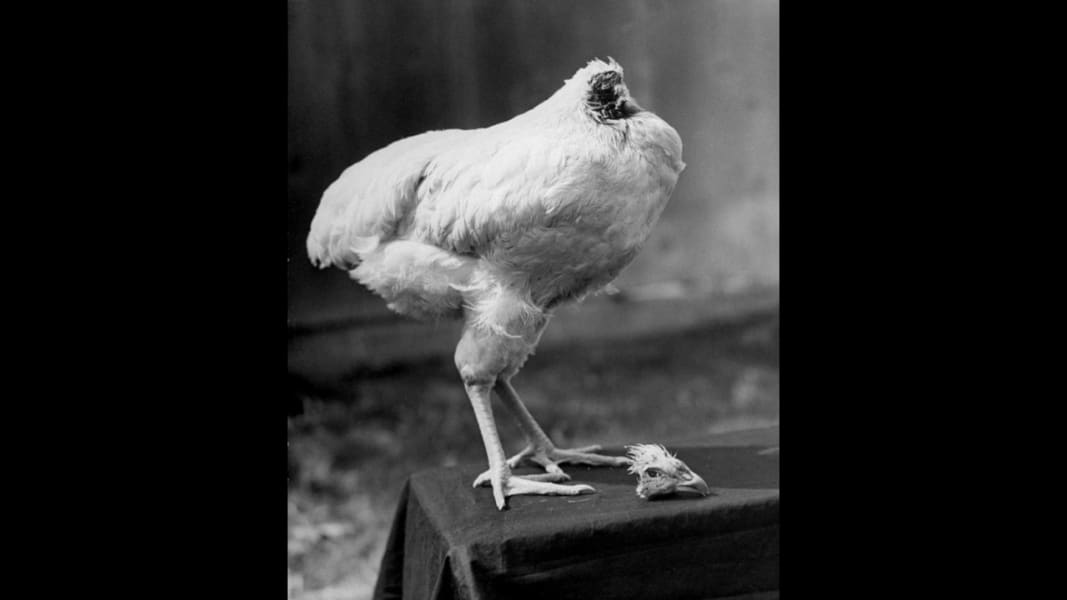 pictures of chickens photos mike the headless chicken of chickens pictures