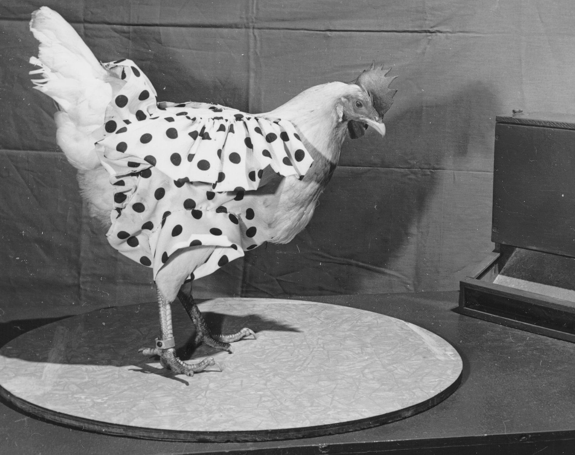 pictures of chickens this chicken miraculously lived for 18 months without a head pictures chickens of