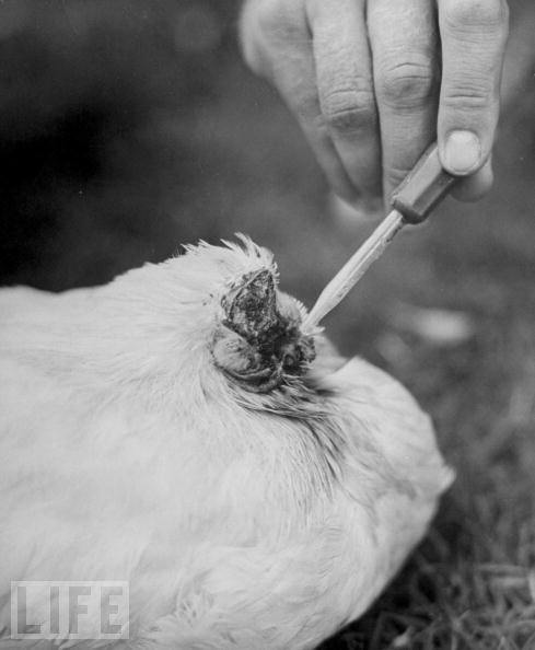 pictures of chickens why a chicken still walks even with the head cu chickens of pictures