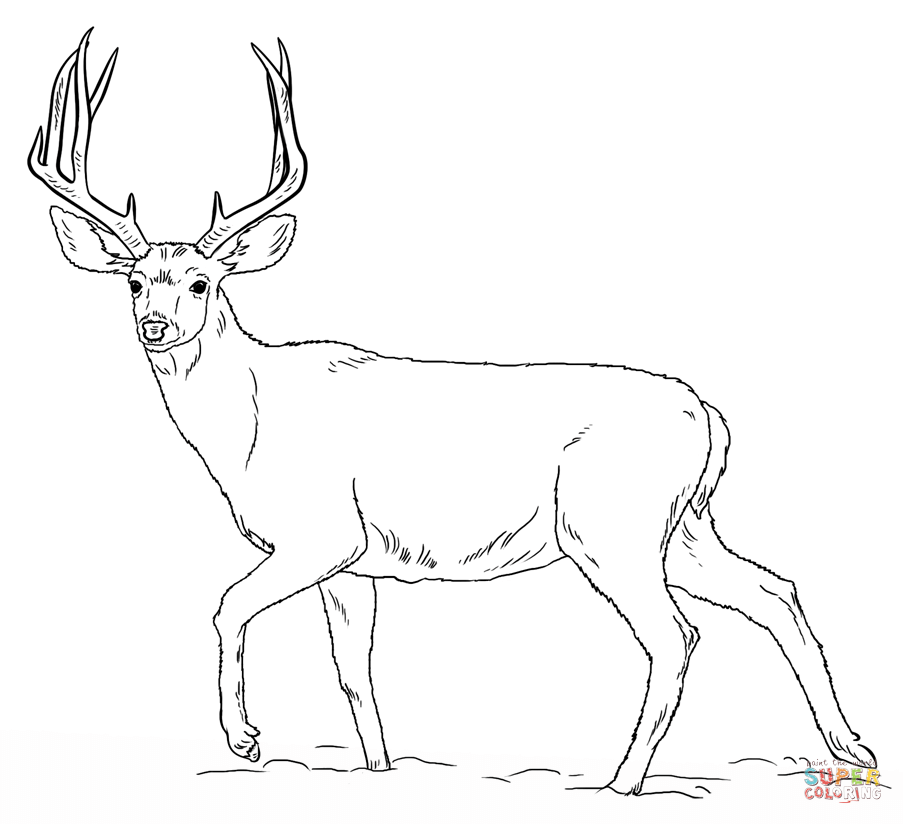 pictures of deers to color coloring pages for kids deer coloring home deers of pictures to color