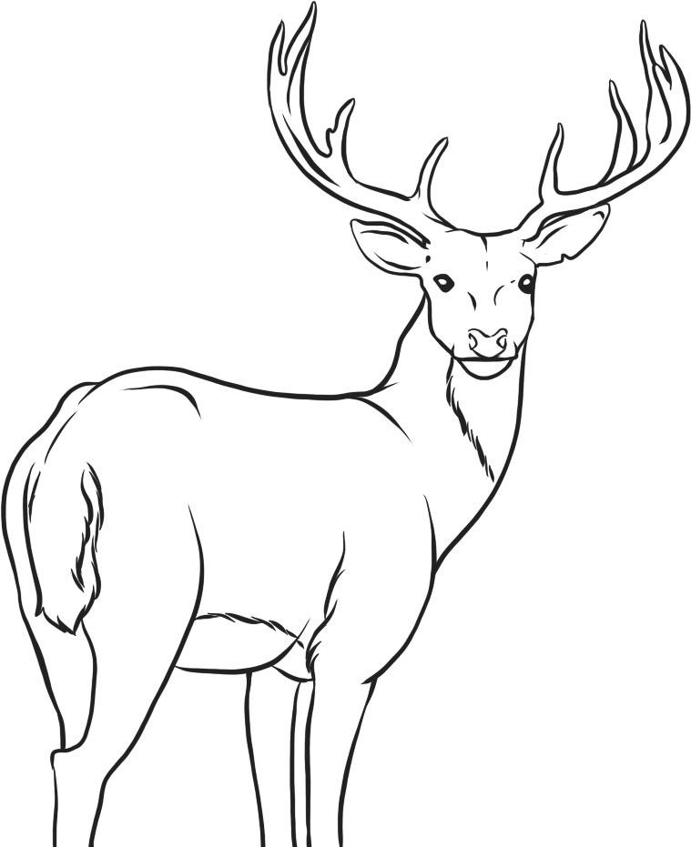 pictures of deers to color deer coloring pages to download and print for free color to of pictures deers