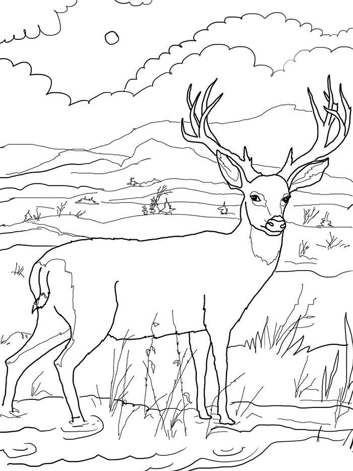 pictures of deers to color white tailed deer coloring pages to print coloring home pictures to of deers color