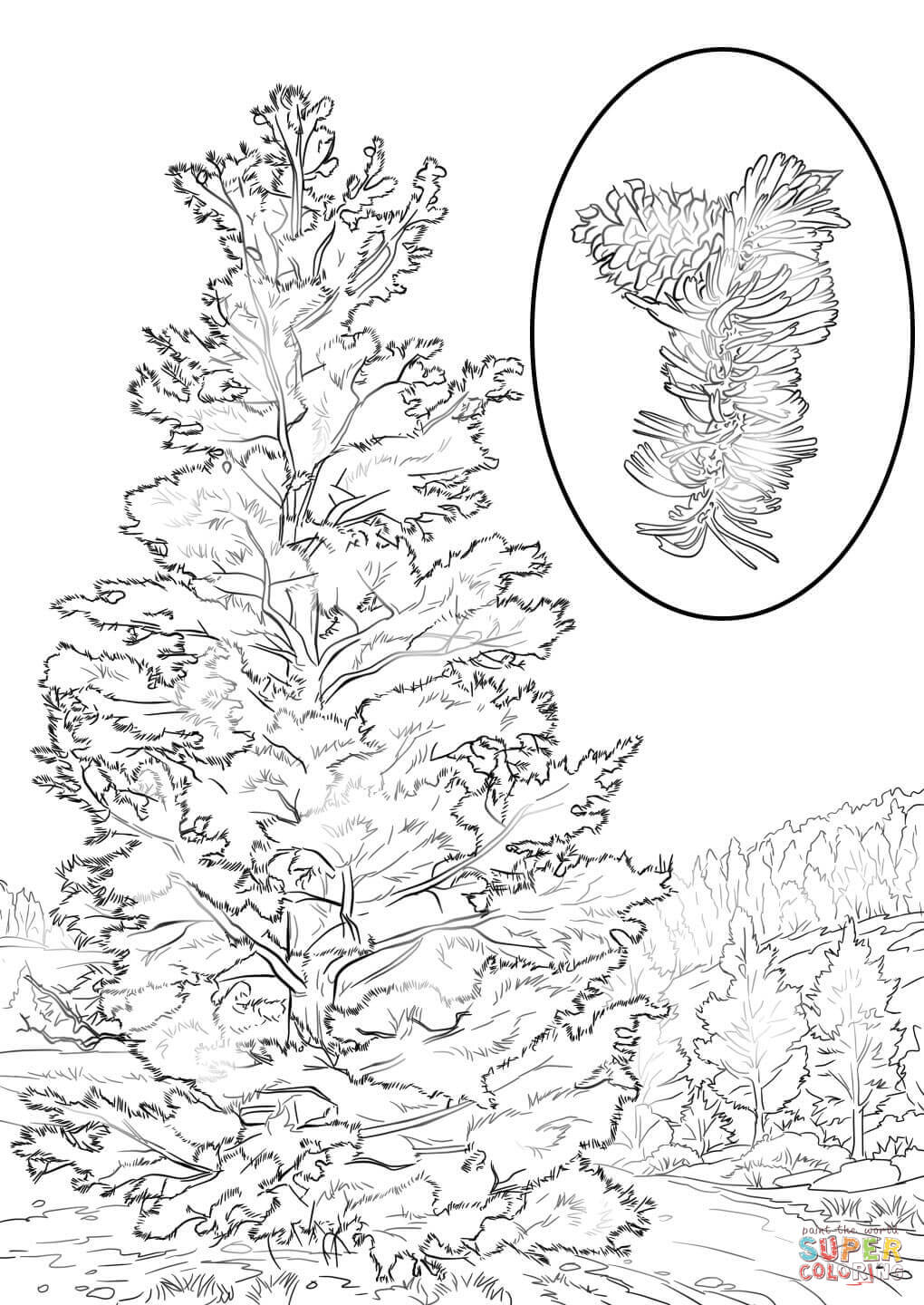 pine tree coloring pages white pine tree coloring page coloring pages color tree pine pages coloring