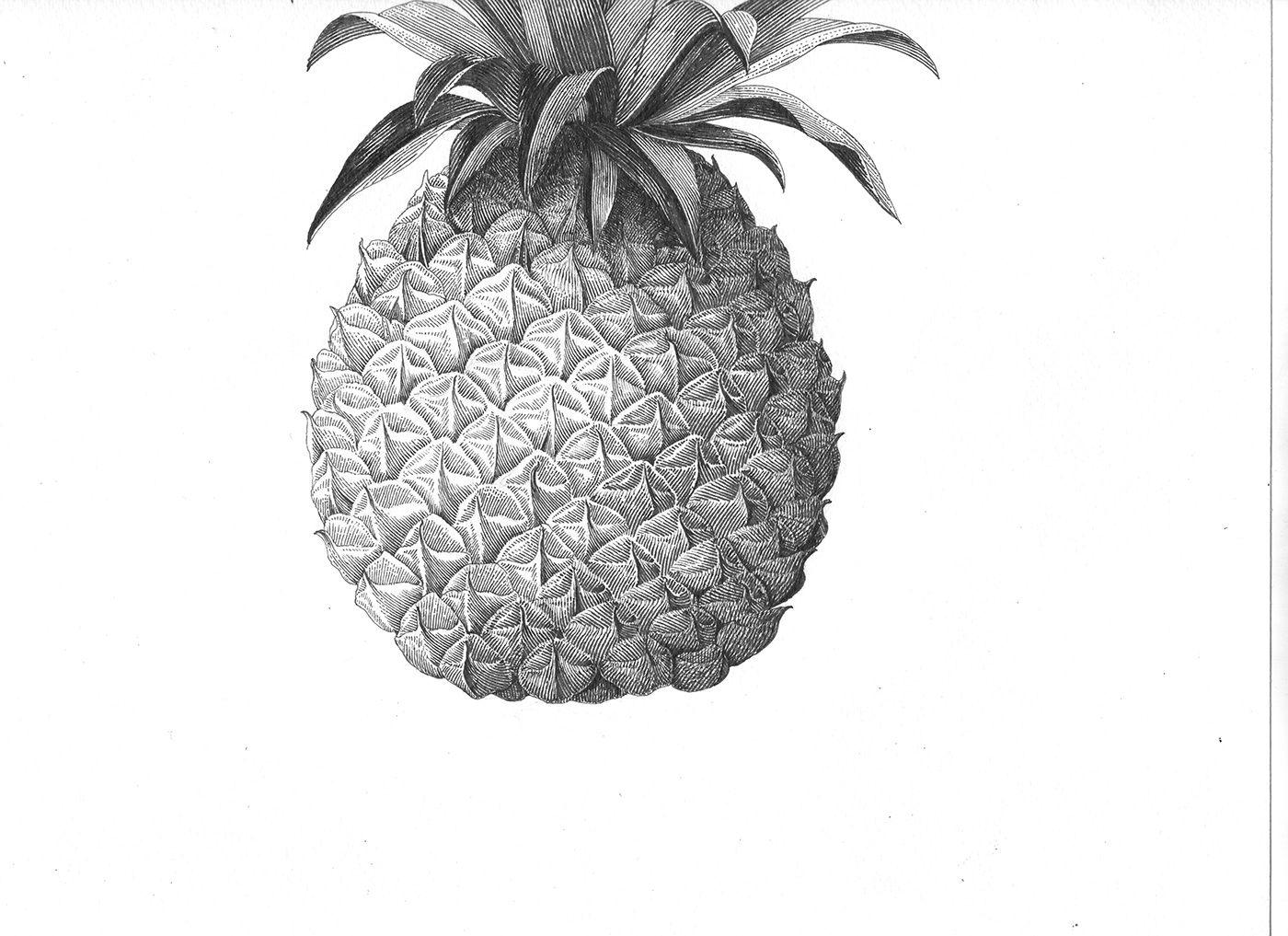pineapple drawing pineapple hand drawing on behance pineapple drawing