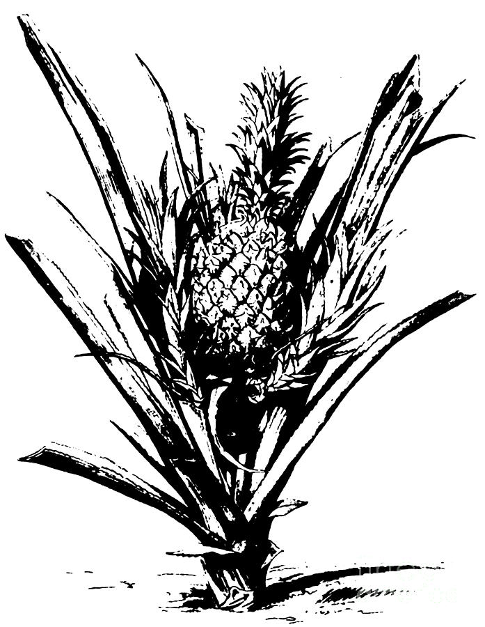 pineapple drawing pineapple plant with fruit drawing by italian school pineapple drawing