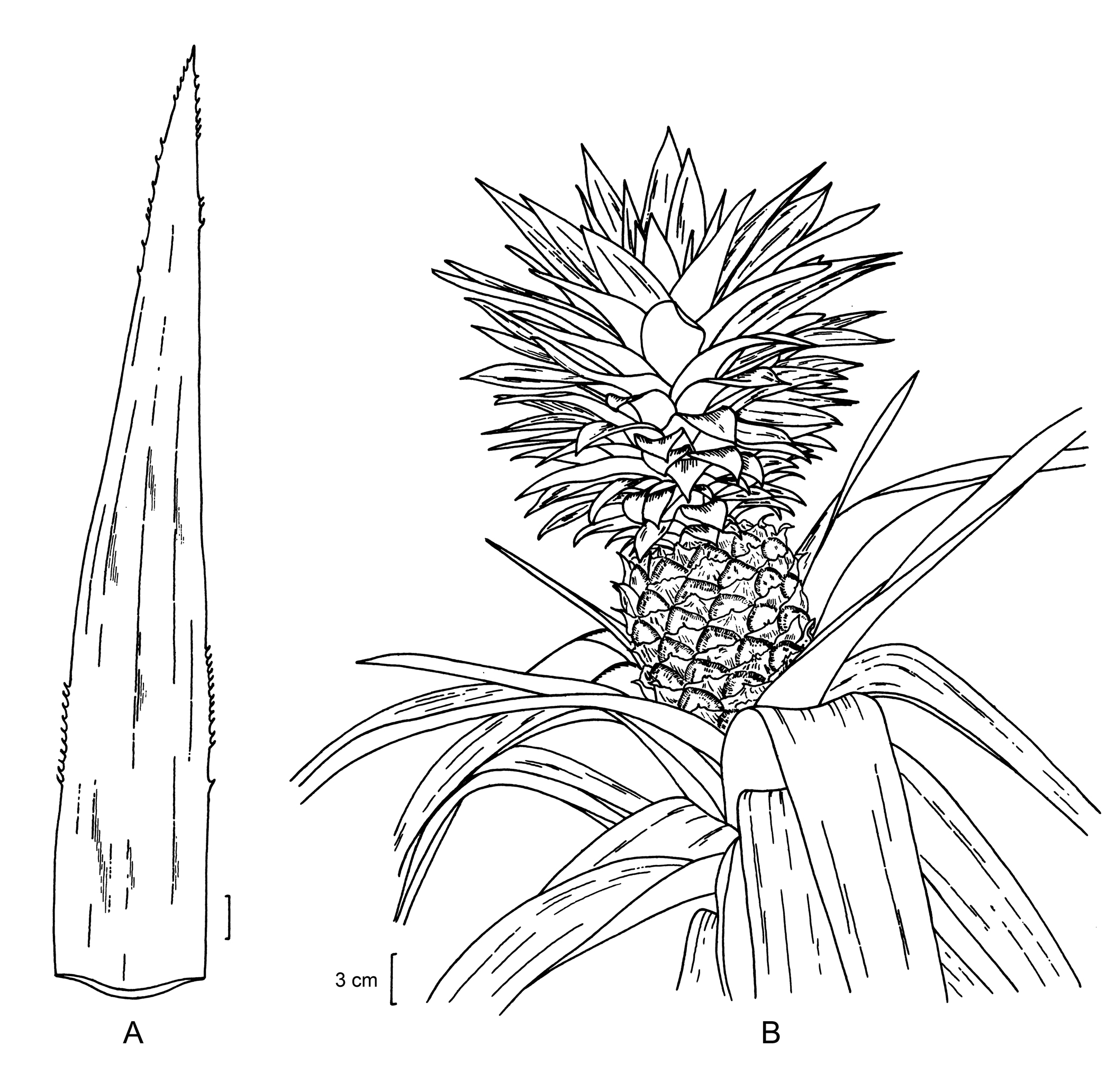 pineapple line drawing pineapple line drawing at getdrawings free download line pineapple drawing