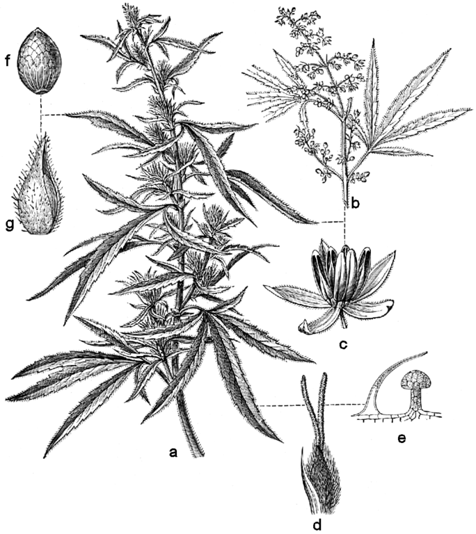 pot plant drawing lateral science cannabis nuclear bomb double flash plant drawing pot