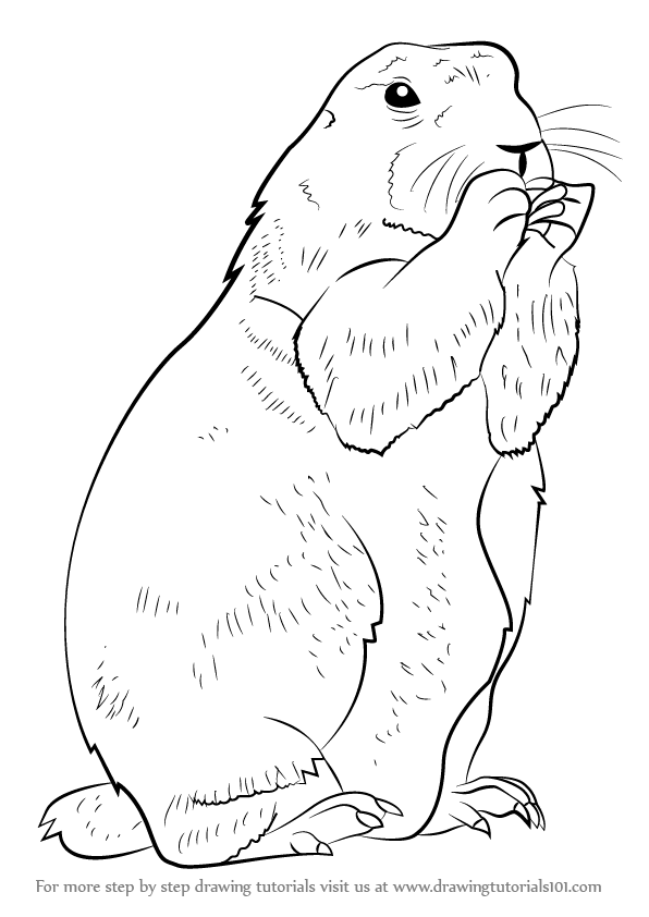 prairie dog drawing learn how to draw a prairie dog rodents step by step drawing dog prairie