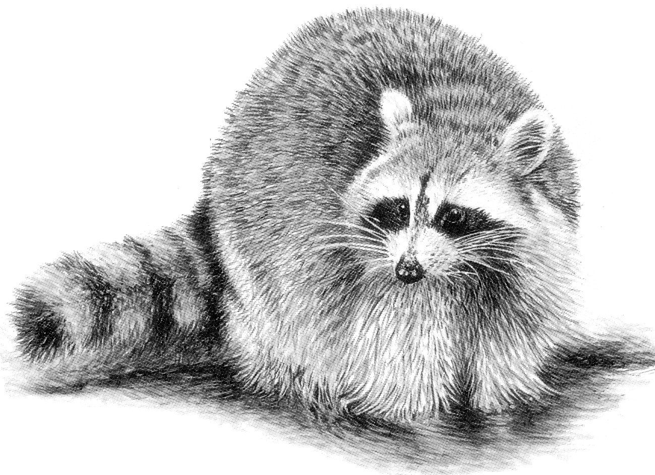 raccoon drawing 275 best images about raccoons drawings and paintings of drawing raccoon