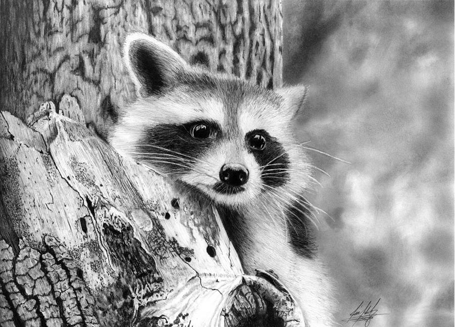 raccoon drawing raccoon pencil drawing art print a3 a4 sizes signed drawing raccoon