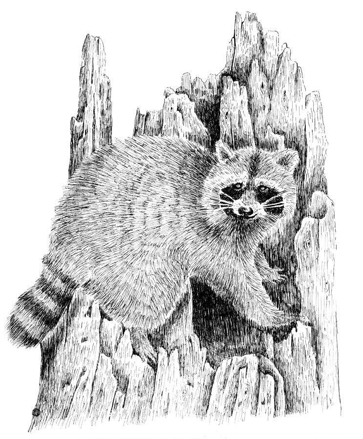 raccoon drawing very detailed and really draws the eye to the face of the raccoon drawing