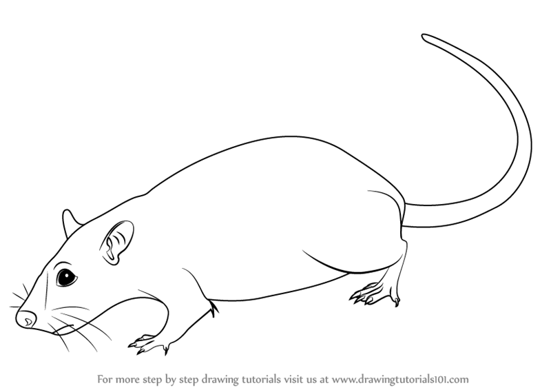 rat images for kids learn how to draw a rat rodents step by step drawing kids rat images for