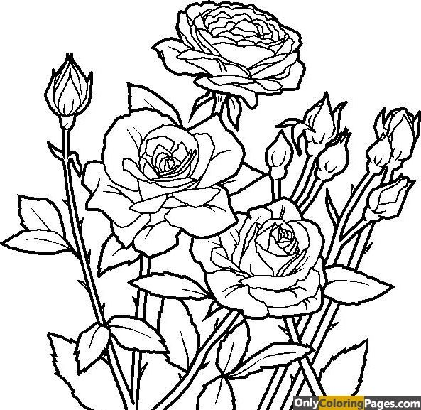 realistic rose flower coloring pages realistic flower drawing at getdrawings free download pages realistic coloring rose flower