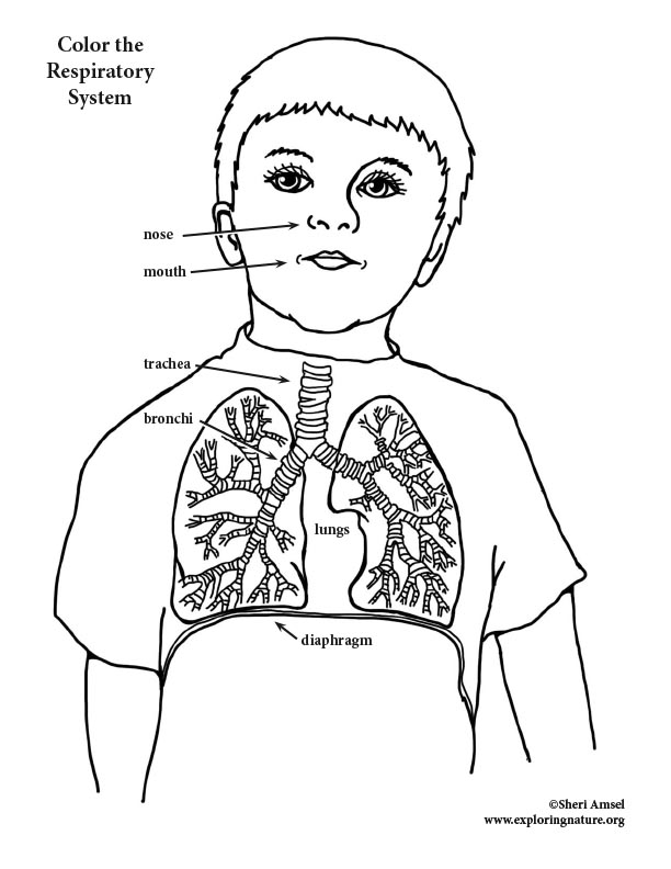 respiratory system coloring page respiratory system coloring elementary respiratory coloring page system