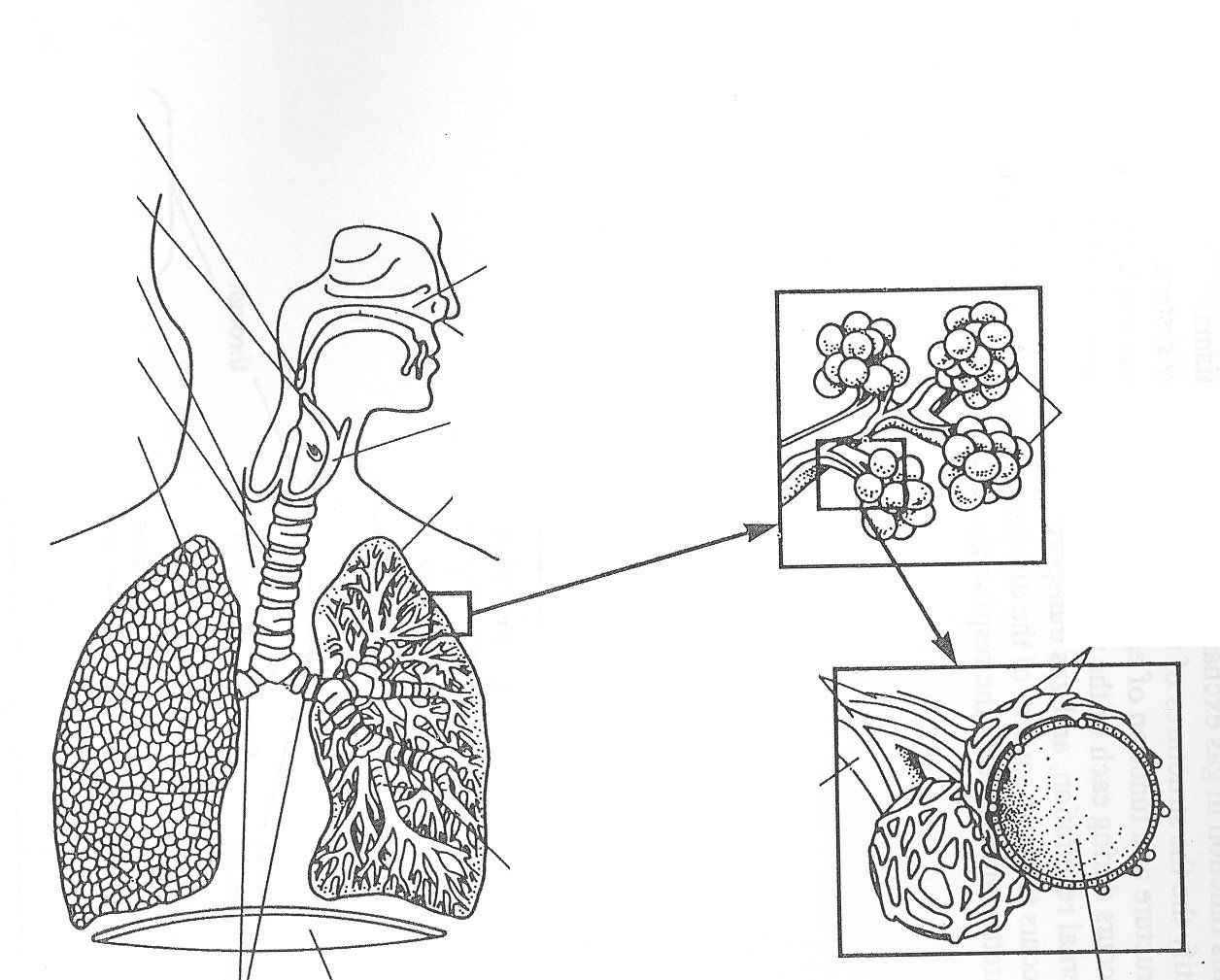 respiratory system coloring page respiratory system coloring page coloring home page respiratory coloring system