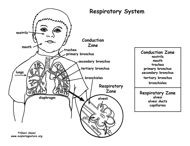 respiratory system coloring page respiratory system coloring page middlehigh school system respiratory page coloring
