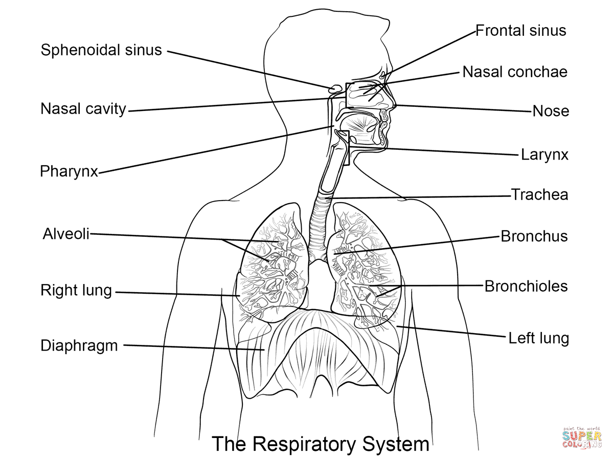 respiratory system coloring sheet respiratory system coloring pages coloring home respiratory sheet coloring system