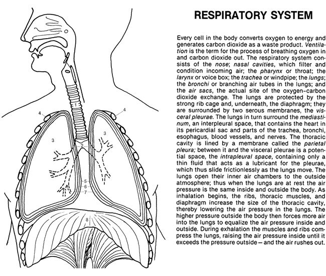 respiratory system coloring sheet welcome to dover publications anatomy coloring book coloring system respiratory sheet
