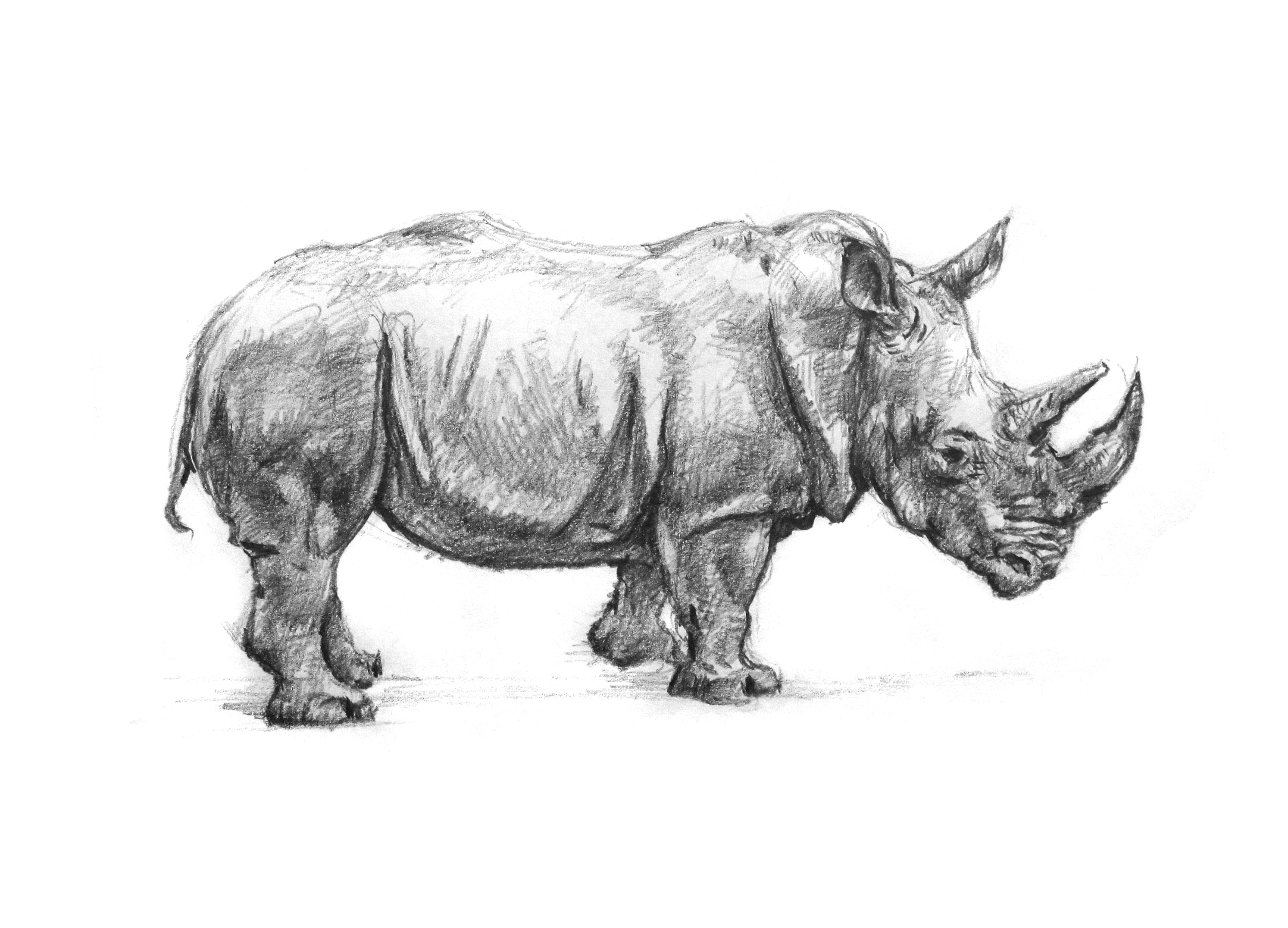 rhino drawings black rhino drawing by craig carlson rhino drawings