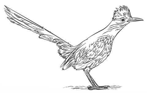 roadrunner outline learn how to draw the road runner the road runner step roadrunner outline