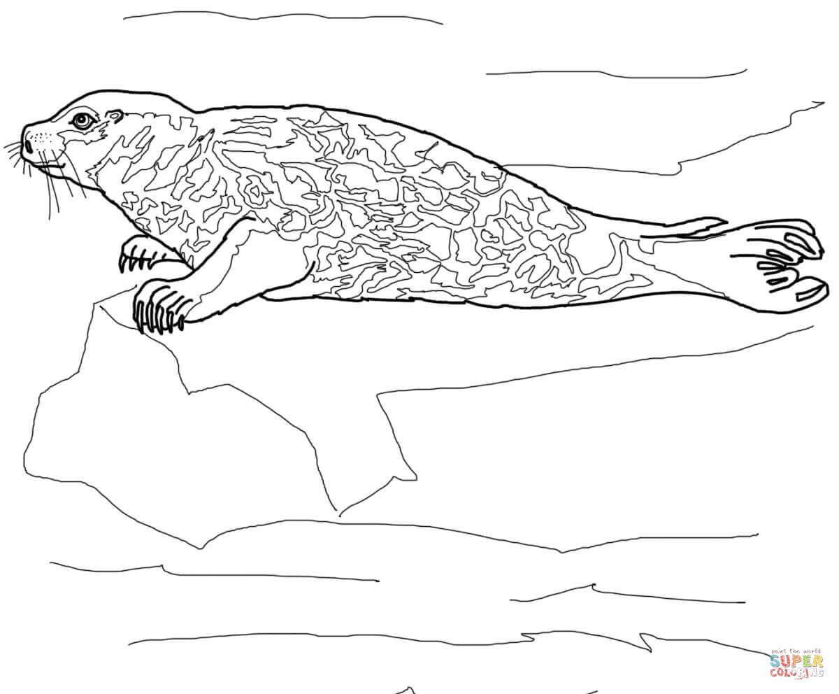 seal coloring page free sea lion coloring pages coloring seal page