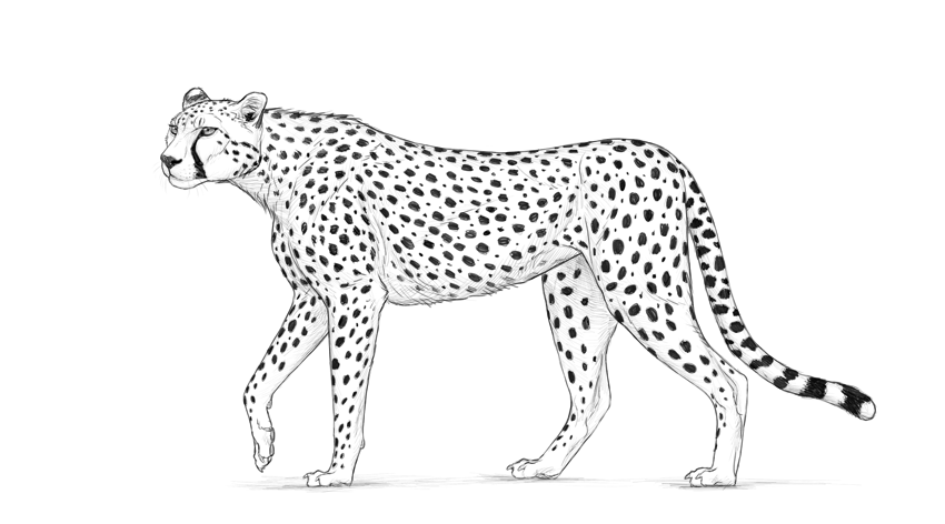 sketch of cheetah how to draw a cheetah in pen ink 1 youtube cheetah sketch of