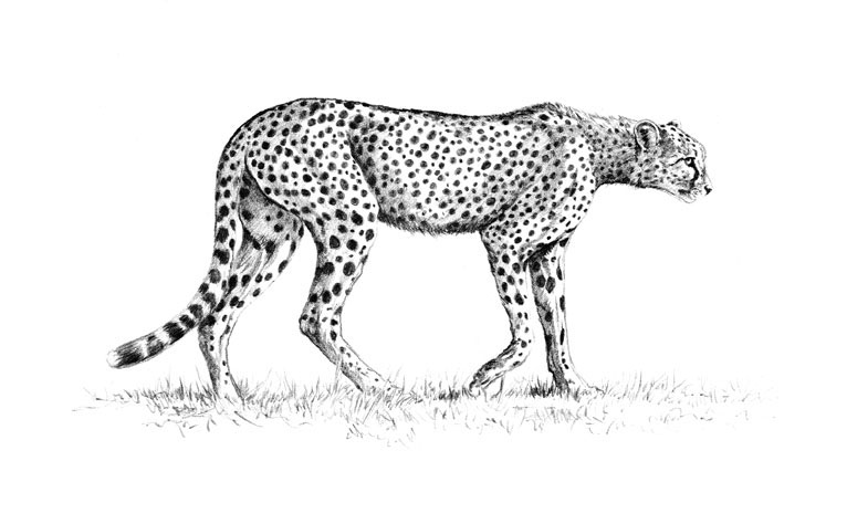 sketch of cheetah how to draw a cheetah step by step pictures cool2bkids cheetah of sketch