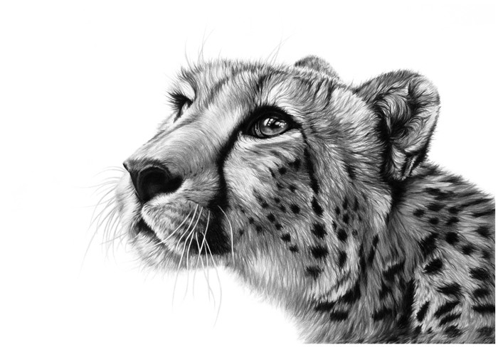 sketch of cheetah how to draw cheetah on papereasy steps by sketch of cheetah