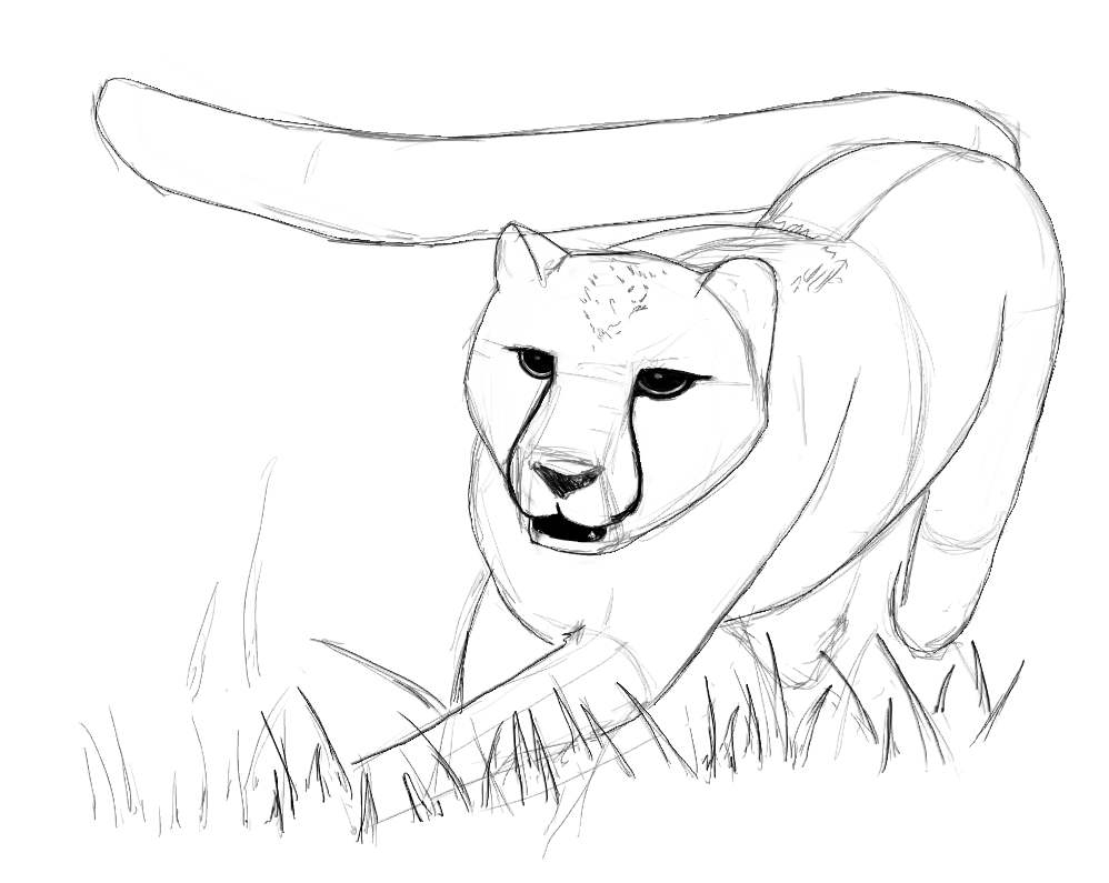 sketch of cheetah how to draw realistic cheetah tiger step by step easy for sketch cheetah of